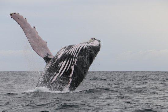 Whale Watching Panama: Humpback Whale