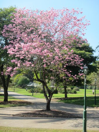 City Botanic Gardens: Blooming tree (imported from south america)