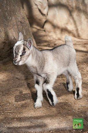 Petit Paradis de Vendargues: petite chèvre