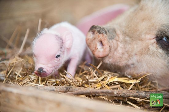 Petit Paradis de Vendargues: bébé cochon