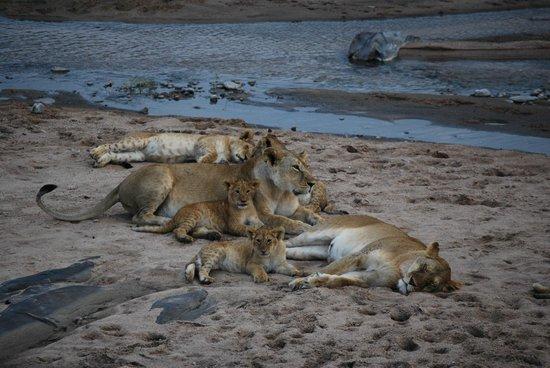 Enkewa Camp : LEONES