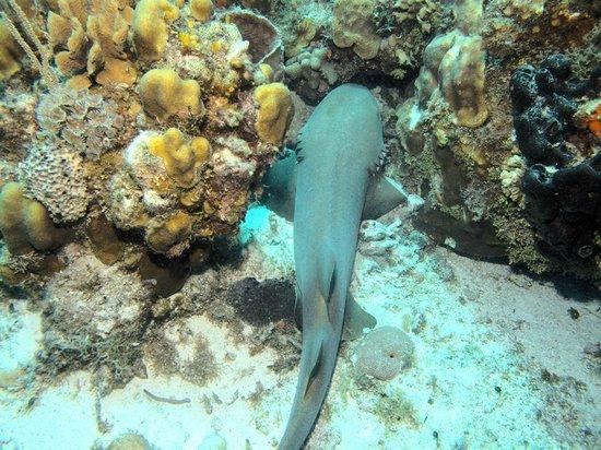 Sea Robin Cozumel: Nurse Shark