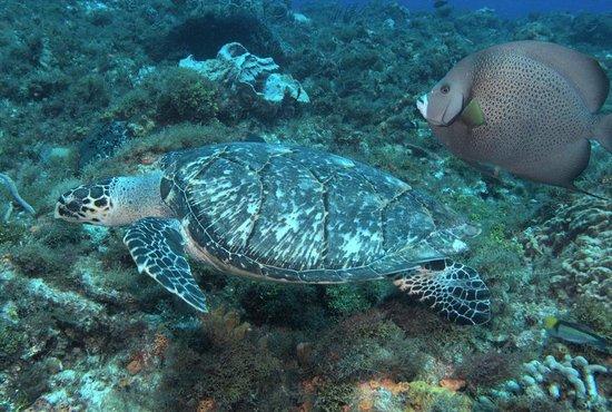 Sea Robin Cozumel: Lots of turtles!