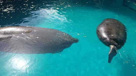 Miami Seaquarium: Manatee