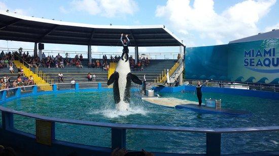 Miami Seaquarium: Orcas
