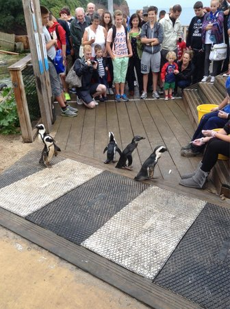 Living Coasts: Feeding time at the penguin crossing