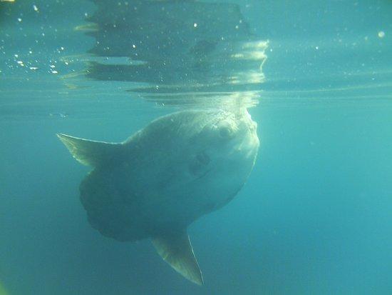 Basking Shark Scotland: Mola Mola