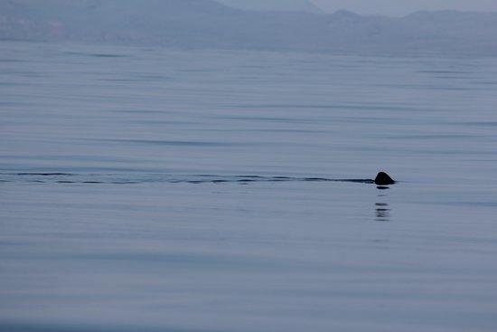 Basking Shark Scotland: Shark