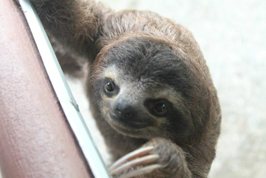 Fundación Jaguar Rescue Center: Baby sloth!