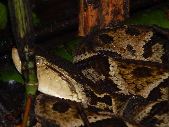 Arenal Oasis Wildlife Refuge : Fer De Lance