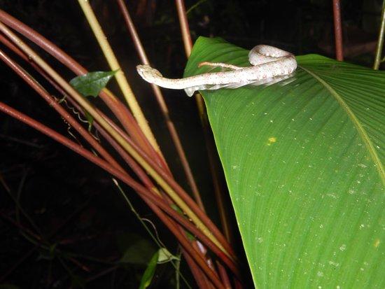 Arenal Oasis Wildlife Refuge: Grey Eye Lash Viper