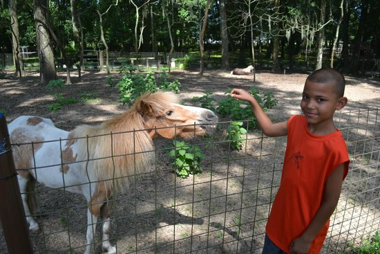 Dade City's WIld Things : Little Man (Miniature Horse)
