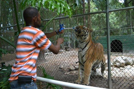 Dade City's WIld Things: Tiger Feeding  Roy 1000lb Siberian Tiger