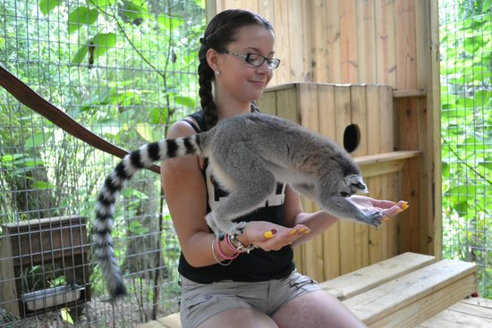 Dade City's WIld Things: Bella the Lemur
