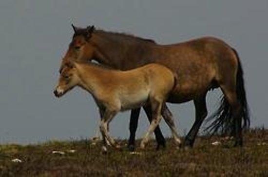 Ponies on Dunkery beacon
