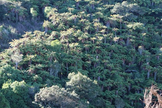 Waimangu Volcanic Valley : FERN TREES GALORE