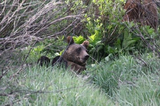 Jackson Hole Wildlife Safaris - Day Tours: baby bear just chilling in Jackson