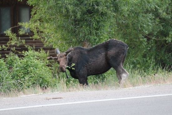 Jackson Hole Wildlife Safaris - Day Tours: Moose having a munch in down town jackson. you dont realise how big they are until your up this