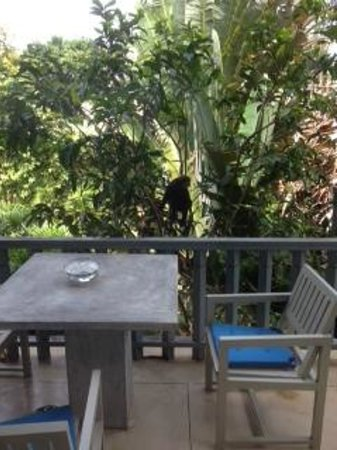 Hibiscus Villa : Monkey Visitor! Right outside our room!