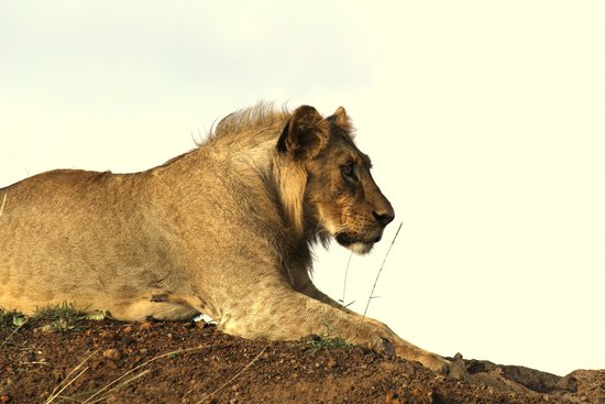 David Sheldrick Wildlife Trust: A Male Sub Adult Lion Beginning to Sprout a Mane