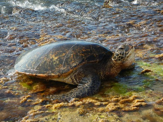 Laniakea Beach: Eating some kelp