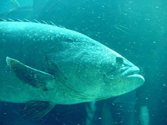 Georgia Aquarium : Big Fish