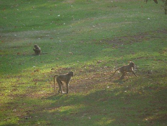The Victoria Falls Hotel : les babouins le soir dans le parc