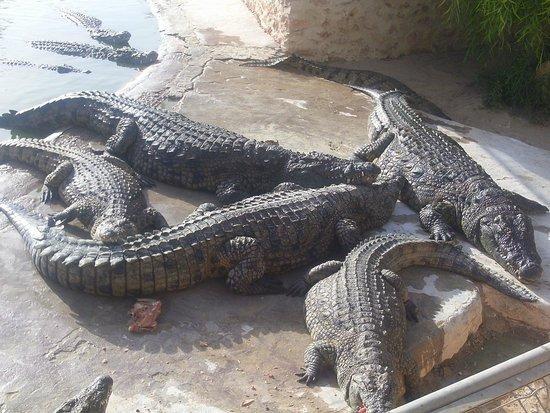 Miramar Petit Palais: crocodiles