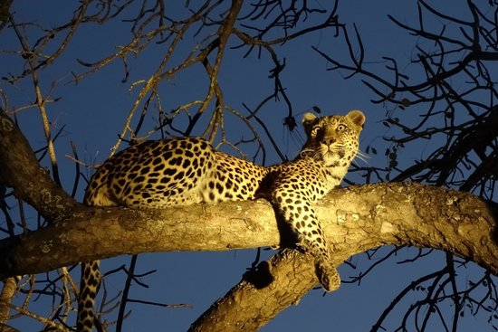 Motswari Private Game Reserve: LIT- Leopard in tree