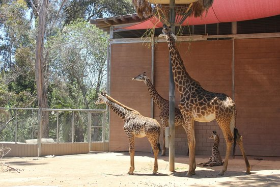 San Diego Zoo : Baby Giraffe...awwwwwwwww!
