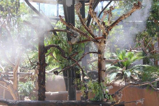 San Diego Zoo : Koalas in the mist