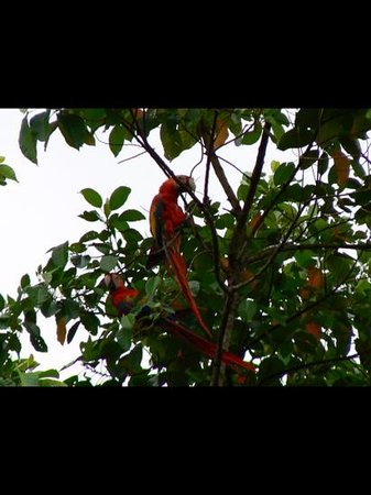 Punta Marenco Lodge : Parrot in the trees.