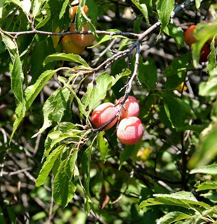 Hoglund Dugout: Sand Plums Along the Path