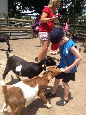 Grant's Farm: Feeding the goats