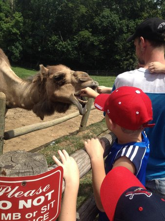 Grant's Farm: Feeding the camels