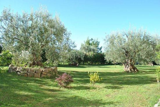 B&B Villa Roberta : I bellissimi ulivi