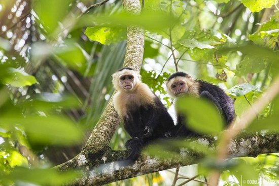 Casa Grande: white faced capuchin