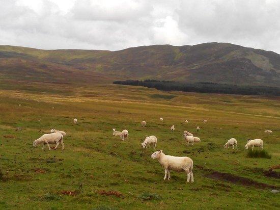 The Wildcat Experience : Rencontre avec des mouton sur le chemin