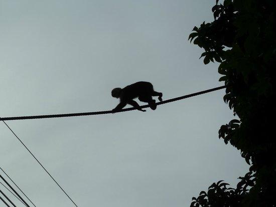 Falls Resort at Manuel Antonio : Monos en la calle del hotel