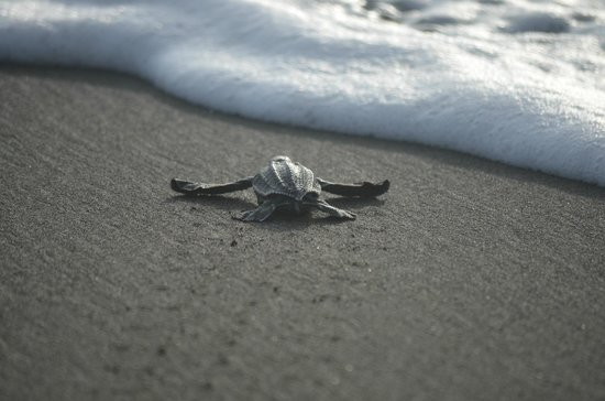 Casa Grande: a new born hatchling on its way to the sea