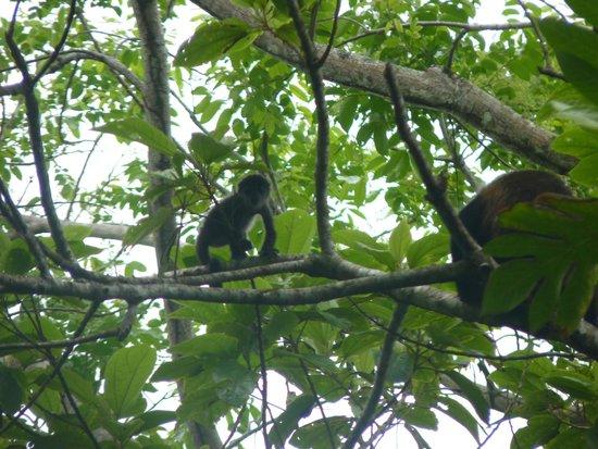 Casa Grande: a baby howler monkey