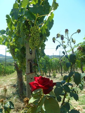 Walkabout Florence Tours: The Grapes