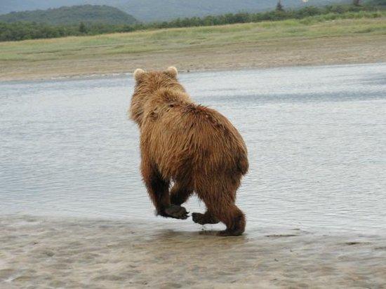 Sasquatch Alaska Adventure Co: Momma on the hunt for salmon.
