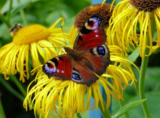 East Ruston Old Vicarage Garden: Butterfly heaven