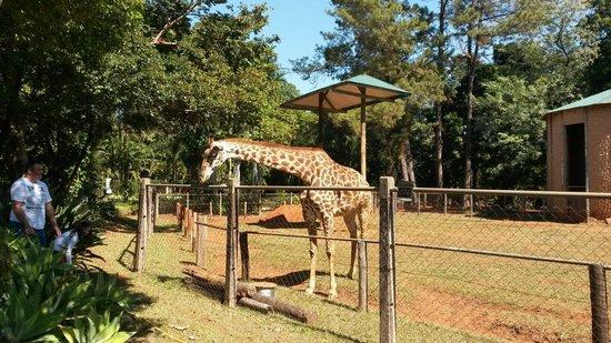 Zoologico de Americana: Giraffe