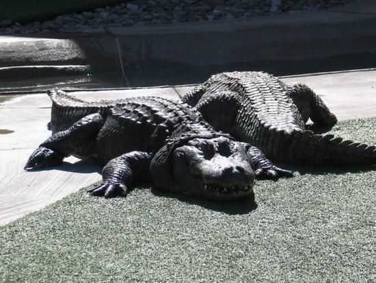 Reptile Gardens: gators and crocs