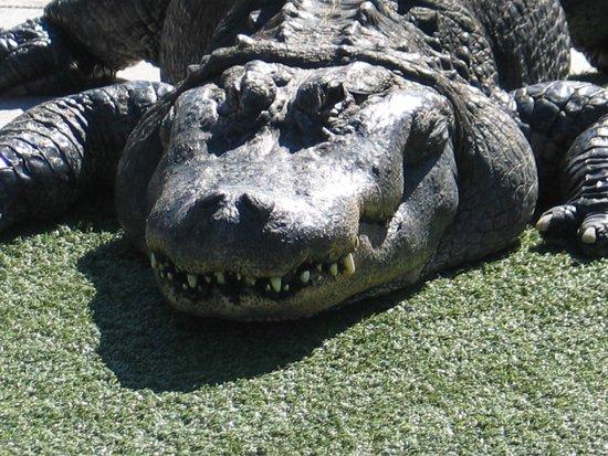 Gators And Crocs Picture Of Reptile Gardens Rapid City Tripadvisor
