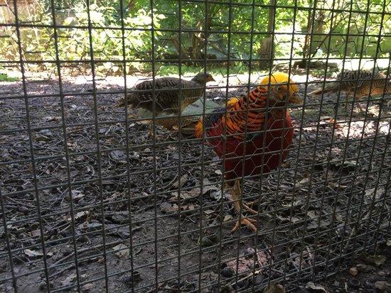 Spaycific'Zoo : Faisan doré