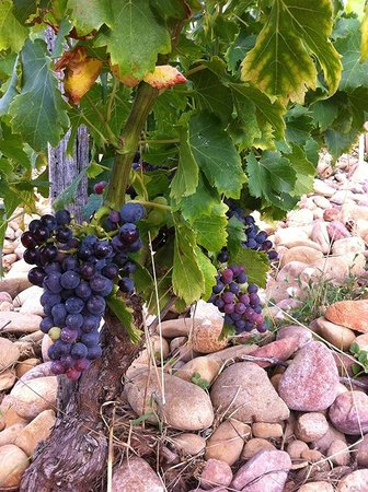 Wine in Provence Tours : Grapes ready for harvest