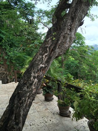 Anse Chastanet: The tree that grows up through the tile outside the front door